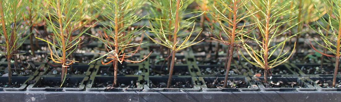 Seeding Tray