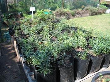 Yellow wood seedling growing